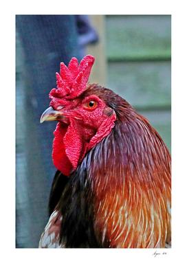 English Game Cock 29