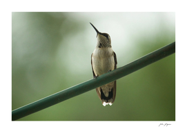 Hummingbird Pride