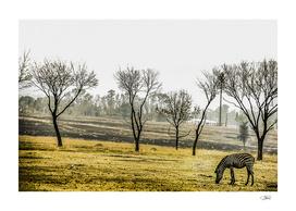 The Zebra in the field