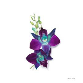 Digital Painting of a Blue Bom Dendrobium Orchid Flower