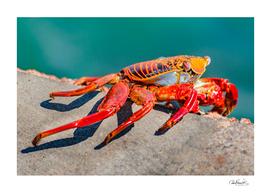 Colored Crab, Galapagos Island, Ecuador