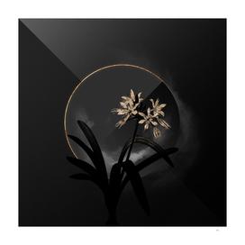 Shadowy Pancratium Illyricum Botanical on Black and G