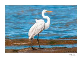 White Stork At Coast of River Beach, Montevideo, Urug