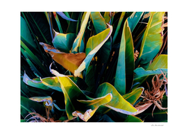 closeup green bird of paradise leaves texture background