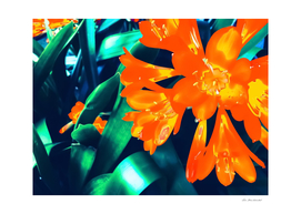 blooming orange Clivia flowers with green leaves background