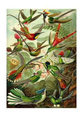Colibri - Ernst Haeckel