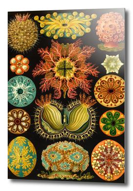 Ascidia - Ernst Haeckel