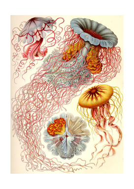 Jelly Fish - Ernst Haeckel