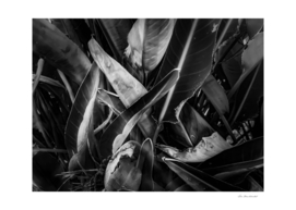 bird of paradise leaves texture in black and white