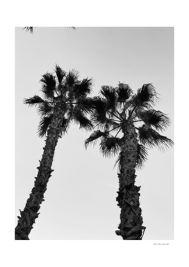 palm tree with clear sky background in black and white