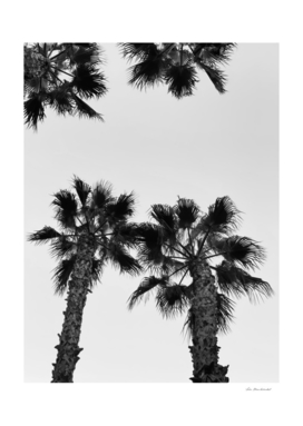 palm tree with clear sky in black and white