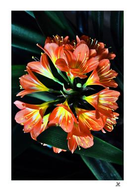 Clivia Miniata. Orange Flowered Form.