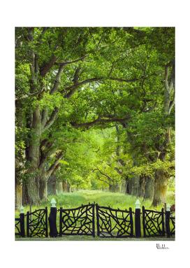 Oak Tree Alley in Summer