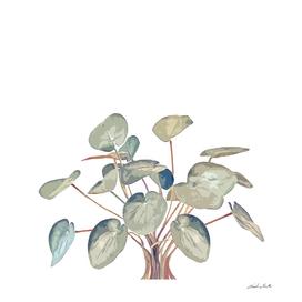 Pilea plant in white