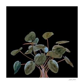 Pilea plant in black