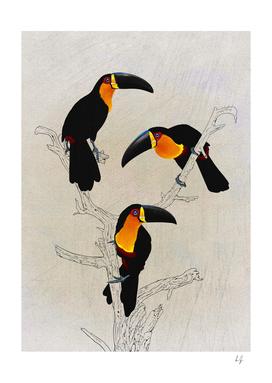 Black Billed Toucans
