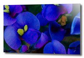 Antirrhinum blue background.
