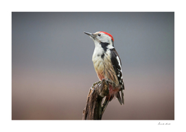 Middle Spotted Woodpecker 1