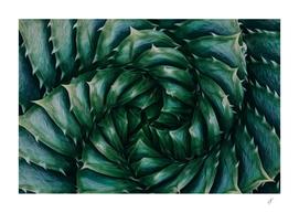 Aloe aristata close up.