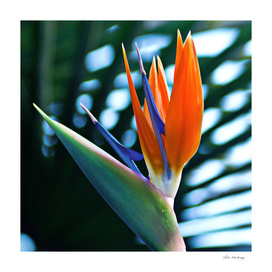 Bird of Paradise - Botanical Garden