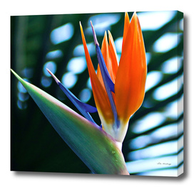 Bird of Paradise - Botanical Garden