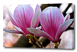 Magnolia - Botanical Garden