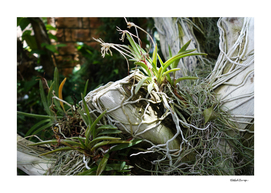 Epiphytic Roots