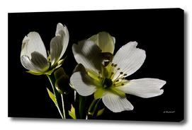 Venus Flytrap Flower Two