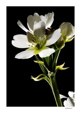 Venus Flytrap Flower