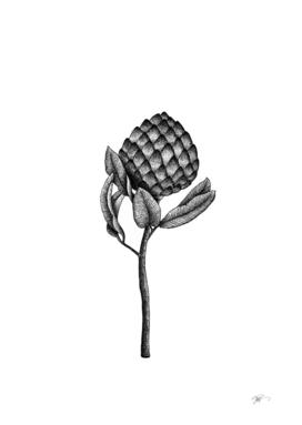 Annona diversifolia