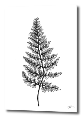 Pityrogramma calomelanos