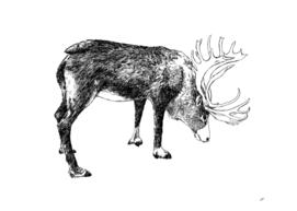 Reindeer male