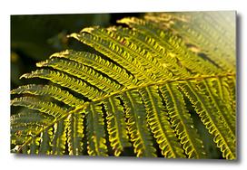 Dreaming Golden Fern in the summer light