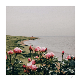 A bush of pink roses growing on the seashore.