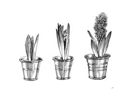 Hyacinth03