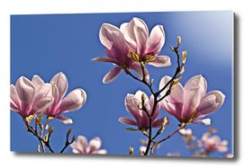 Magic Magnolia