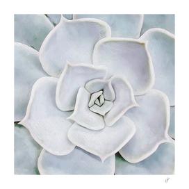 White succulent plant close up.