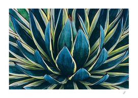 Agave close-up.