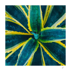 Yellow-green agave.