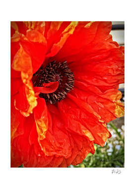 Bright Poppy, Side View