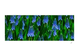 Muscari sky blue flower.