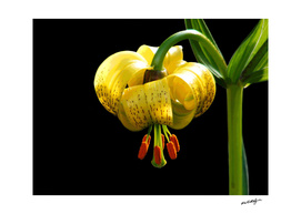 Recurved Lily