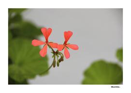 Geraniums (Pelargonium) #1