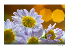Daisy flowers and warm light