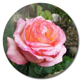 Pink rose after rain