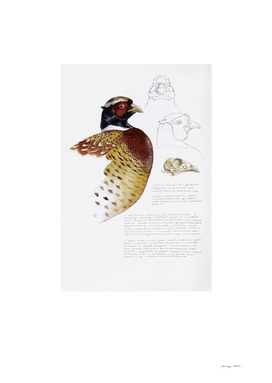 Pheasant Head Studies