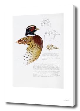 Pheasant Head Studies