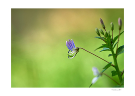 Tiny purple flower on the blurry green background