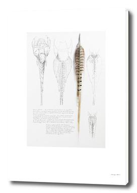 Pheasant Tail Studies