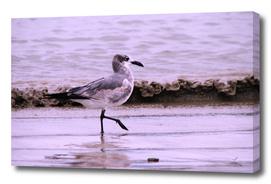 evening seagull